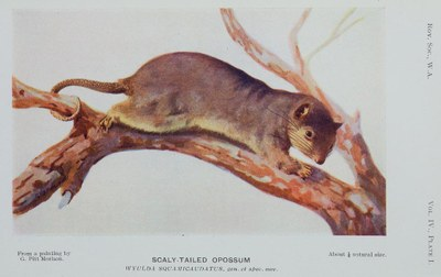 Picture belonging to the blog post of Nicole Kearney. Image captionThe Scaly-tailed Possum (Wyulda squamicaudata) was described in 1919 as a new species (and a new genus) in the Journal of the Royal Society of Western Australia.  Alexander, WB 1919, 'A new species of marsupial of the subfamily Phalangerinae', Journal of the Royal Society of Western Australia, vol. 4, pp. 31-36 https://www.biodiversitylibrary.org/page/43753221#page/44/mode/2up