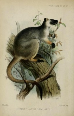 Picture belonging to the blog post of Nicole Kearney. Image Caption The first description of Australia's Lumholtz's Tree-kangaroo was published in the Proceedings of the Zoological Society of London in 1884.Collett, R 1884, 'On some apparently new Marsupials from Queensland', Proceedings of the Zoological Society of London, vol. 52, no. 3, pp. 381-389 https://doi.org/10.1111/j.1096-3642.1884.tb02840.x Open access version: https://www.biodiversitylibrary.org/item/96832#page/476/mode/2up